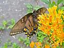 Eastern Tiger Swallowtail Dark Phase Female - Papilio glaucus - female