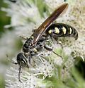 thynnid wasp - Myzinum