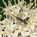 Rhopalophora longipes  - Rhopalophora longipes