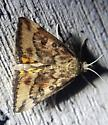 Moth with yellow hindwings - Pyrausta subsequalis