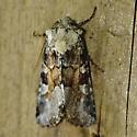Unknown Moth-10 - Oligia bridghamii