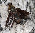 Bee Fly - Villa miscella