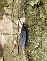 Old Five Leg - Eugnophomyia luctuosa