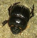 Unknown black beetle  - Dichotomius carolinus