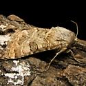 Schinia cupes - Hodges #11134 - Schinia cupes