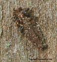 What Am I? - Dahlica triquetrella