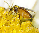 Dark-winged Fungus Gnat Genus Eugnoriste - Eugnoriste
