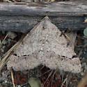 Digrammia californiaria? - Digrammia