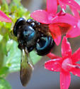 Black Bee? - Xylocopa micans - female