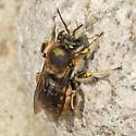 Bee - Anthidium manicatum - male