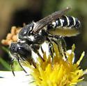 bee - Megachile rotundata - female
