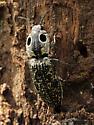 Eyed Click Beetle ovipositing - Alaus oculatus - female
