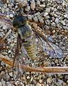 Fly - Aphoebantus fumosus - female