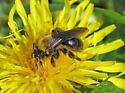 carpenter bee? - Andrena - female