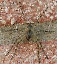 Fishing Spider - Dolomedes albineus - female
