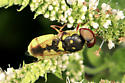 Soldier Fly - Hedriodiscus binotatus - male
