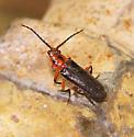 Beetle ID - Atalantycha bilineata
