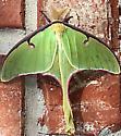 Luna Moth - Hodges#7758 (Actias luna) - Actias luna