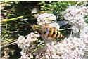 Rhaphiomidas acton Female on Eriogonum fasciculatum - Rhaphiomidas acton - female