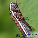 Leafhopper - Cuerna costalis