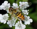 Unknown hoverfly (Syrphidae) - Toxomerus marginatus - female
