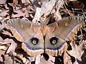 Big moth - Antheraea polyphemus