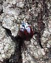 Fifteen-spotted Lady Beetle - Anatis labiculata