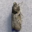 Salebriaria annulosella - Hodges#5774 (Salebriaria annulosella) ? - Salebriaria annulosella