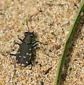 Twelve-Spotted Tiger Beetle without Twelve Spots - Cicindela duodecimguttata