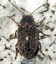 Beetle - Glyptoscelis pubescens