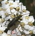 Cerambycidae 7-13-11 03a - Cortodera