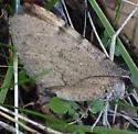 Unknow moth? - Stamnodes - female
