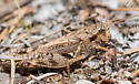 Huron Short-wing grasshopper - Melanoplus huroni - female