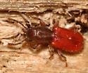 red beetle - Zenodosus sanguineus