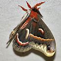 Cecropia Moth - Hodges #7767 - Hyalophora cecropia - male