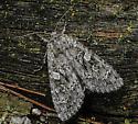 Great Brocade - Eurois occulta - female