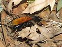 Pepsini? - Calopompilus pyrrhomelas - female
