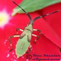 Euphorbia Bug 02 - Chariesterus antennator