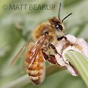 Honey Bee Worker - Apis mellifera - female