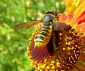 Another little bee, more bad photos! - Megachile fidelis - female