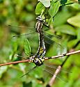 Mating Dragonflys - Gomphurus externus