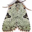 Green Leuconycta H# 9065 - Leuconycta diphteroides