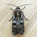 Tessellate Dart Moth (Euxoa tessellata)  - Euxoa tessellata