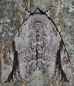 Sad Underwing - Catocala maestosa