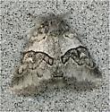 Gluphisia sp. - Gluphisia septentrionis