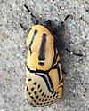 Moth ? - Diphthera festiva