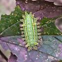 Slug cat - dorsal - Euclea