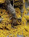 Bristletail - Petridiobius arcticus