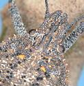 Rough Stink Bug - Brochymena quadripustulata