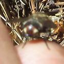 Brown fly - Peleteria
